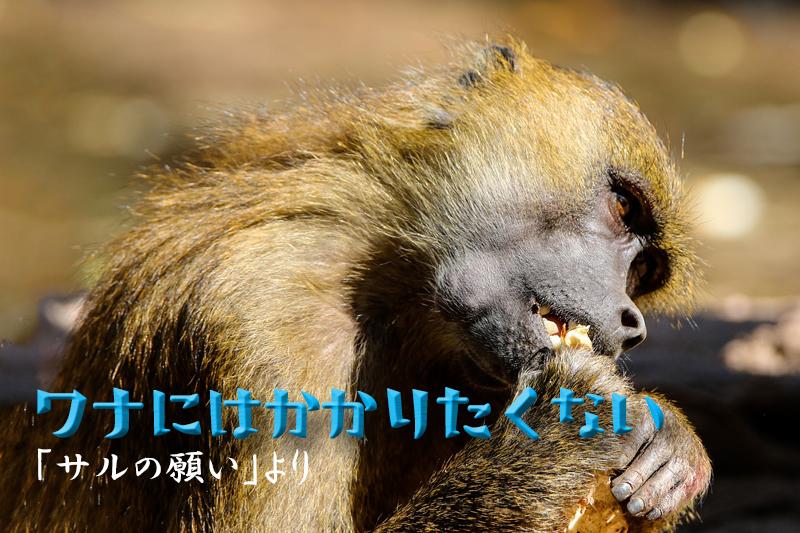 ゴミをあさる猿